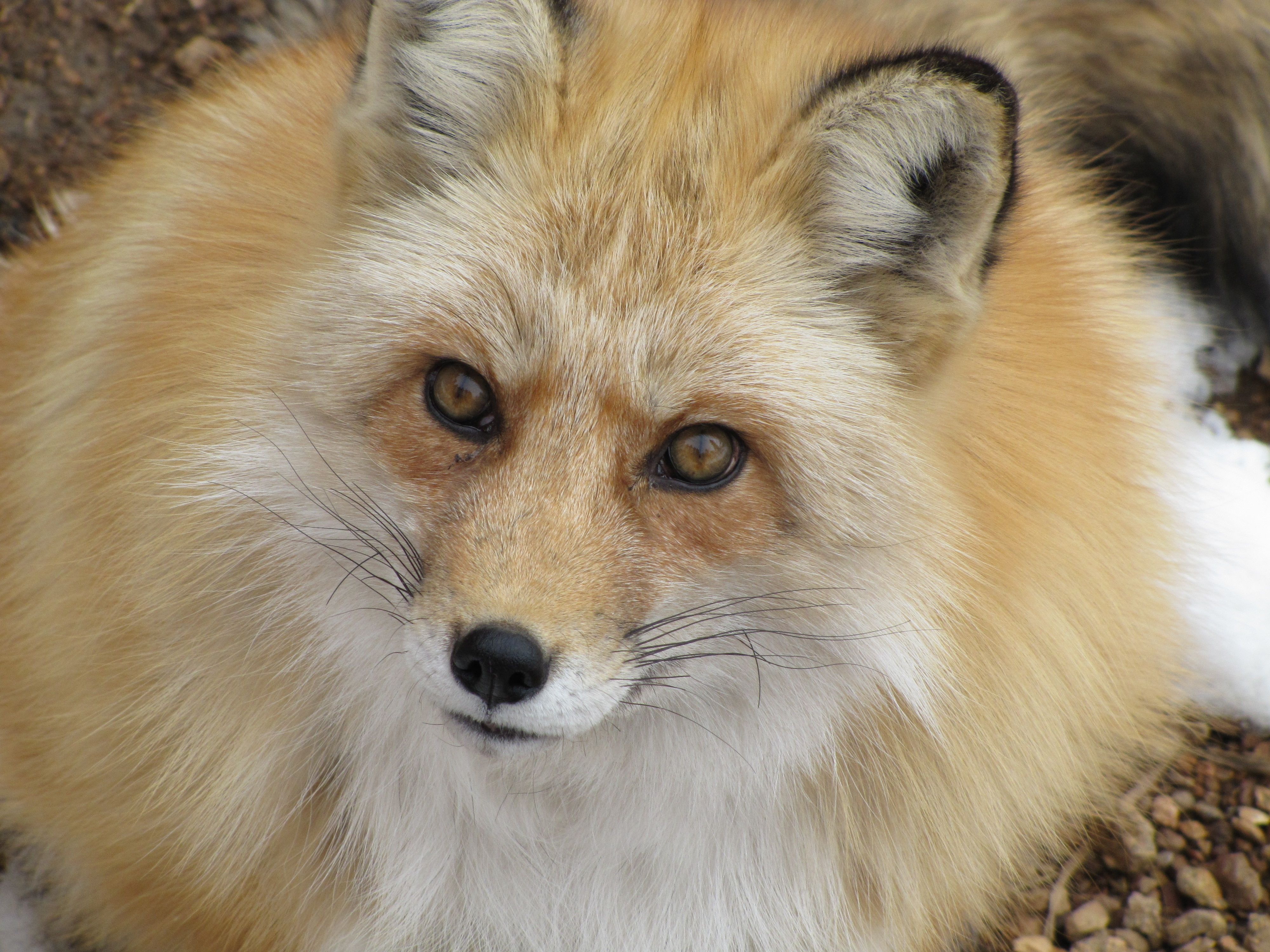 Can I Have A Pet Fox  Science  Australian Popular Science